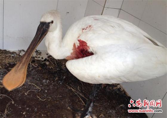 保护野生动物白琵鹭