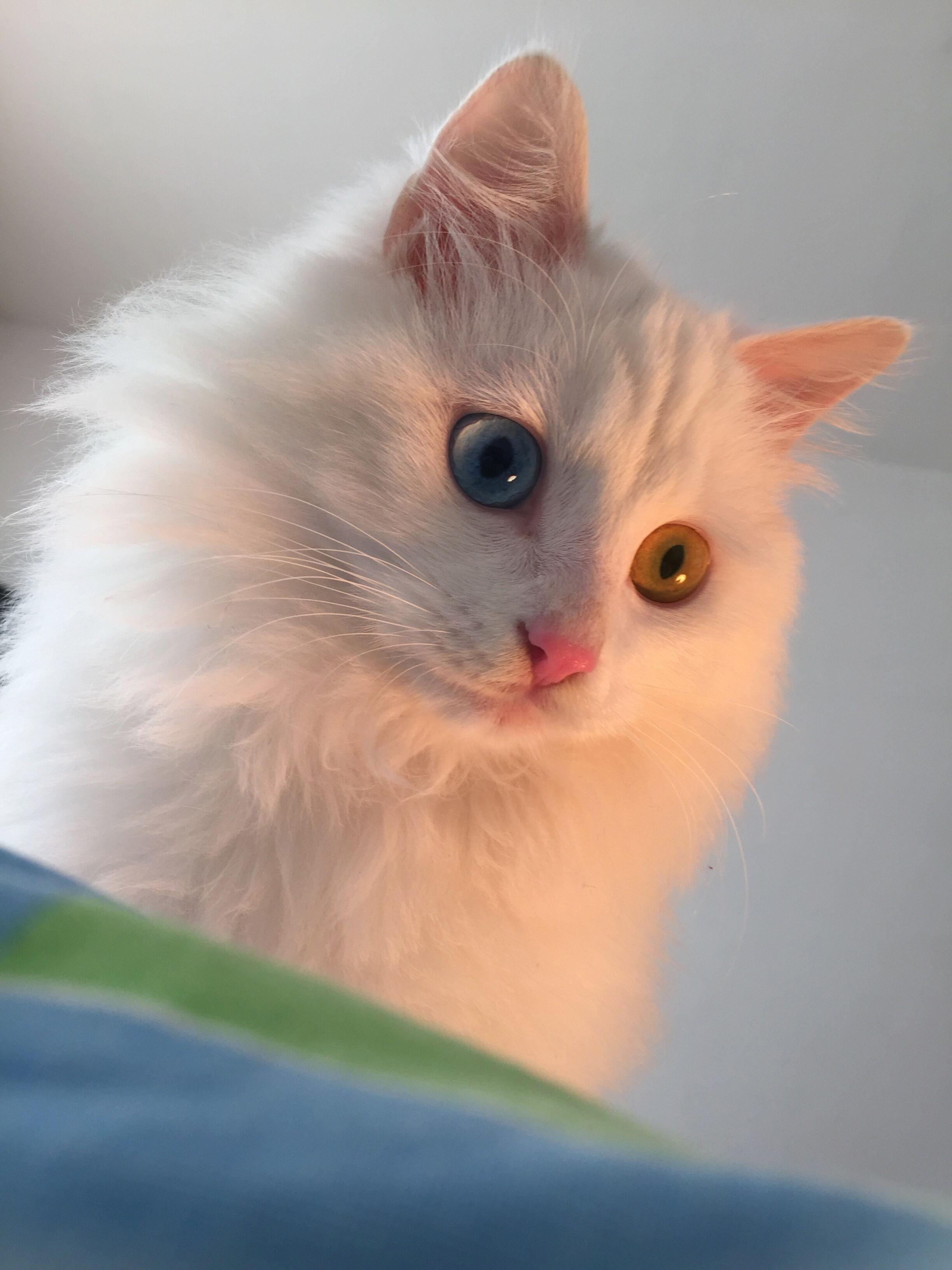 纯白长毛鸳鸯眼狮子猫