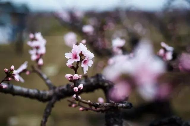 桃花水墨画黑白