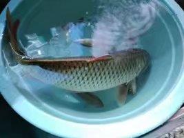 钓鲤鱼图片.jpg